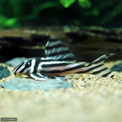 (熱帯魚)インペリアルゼブラプレコ Lサイズ(ワイルド)(1匹) 北海道・九州航空便要保温