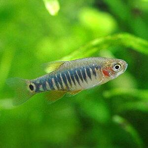 (熱帯魚)ミクロラスボラ・エリスロミクロン(6匹) 北海道・九州・沖縄航空便要保温