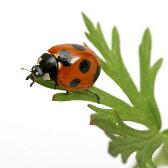 (昆虫)ナナホシテントウムシ(ななほしてんとうむし)成虫(20匹+4匹おまけ) 北海道航空便要保温
