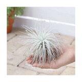 (観葉植物)エアープランツ ティランジア テクトラム XLサイズ(1株)