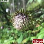 (山野草)オヤマボクチ(雄山火口) 3号(1ポット)