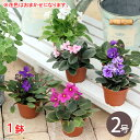 (観葉植物)セントポーリア(花色おまかせ) 2号(1鉢)