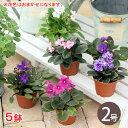 (観葉植物)セントポーリア(花色おまかせ) 2号(5鉢)