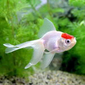 365日毎日発送 ペットジャンル1位の専門店(国産金魚)丹頂(1匹)