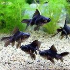 (国産金魚)出目金(デメキン)黒(1匹)