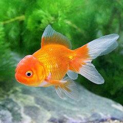 (国産金魚)オランダシシガシラ(1匹)