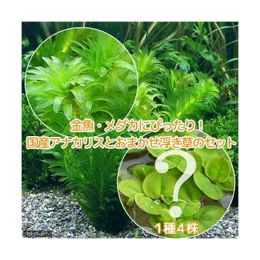 (水草)金魚藻 アナカリス(無農薬)(5本) +おまかせ浮草1種(4株)