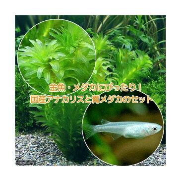 (めだか 水草)金魚藻 国産 アナカリス(無農薬)(5本) +青メダカ(6匹)