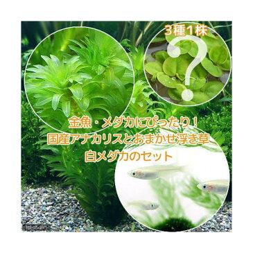 (めだか 水草)メダカ・金魚藻 国産 アナカリス(無農薬)(5本) +おまかせ浮き草3種+白メダカ(6匹)