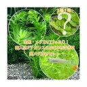 (めだか)(水草)金魚藻 アナカリス(輸入品) 5本 +おまかせ浮き草3種+クロメダカ(6匹)