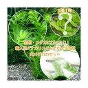 (めだか)(水草)金魚藻 アナカリス(輸入品) 5本 +おまかせ浮き草3種+白メダカ(6匹)