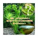 (めだか)(水草)金魚藻 アナカリス(輸入品) 5本 +おまかせ浮き草3種+青メダカ(6匹)