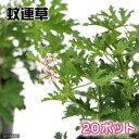 (観葉植物)ハーブ苗 カレンソウ(蚊連草) 3号( 20ポッ...