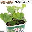 デルモンテの野菜苗!(観)【緑のカーテン】【デルモンテ】ワイルドキュウリ 3号(1ポット)