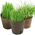 (観葉植物)おまかせやわらか生牧草 直径8cmECOポット植え(無農薬)(2ポット) 猫草 北海道冬季発送不可