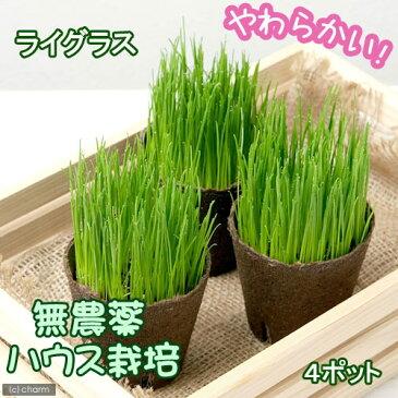 (観葉植物)ケース売り うさぎ人気No.1(イタリアンライグラス) 直径8cmECOポット植え(無農薬)(4ポット) うさぎ おやつ