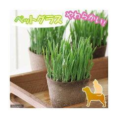 (観葉)ペットグラス ワンちゃんの草 燕麦 直径8cmECOポット植え(無農薬)(1ポット) 犬のおやつ[charm 楽天市場店]