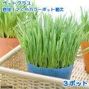 (観葉植物)ペットグラス 直径12cmカラーポット植え ワンちゃんの草 燕麦(無農薬)(3ポット) 北海道冬季発送不可