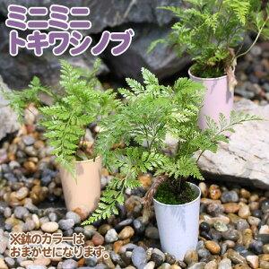 とっても可愛いミニミニサイズ!(観葉)ミニミニ・トキワシノブ 1号(1鉢)