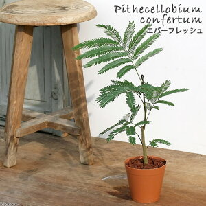 ガーデニング>観葉植物>4号鉢(ポット)(観葉)エバーフレッシュ 4号(1鉢)