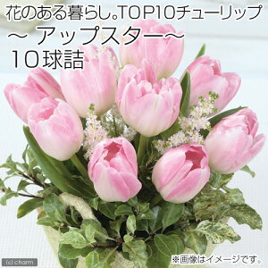 人気品種!(観葉)チューリップ球根「花のある暮らし。TOP10」シリーズ 〜アップスター〜 10...