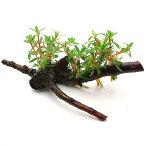 (水草)ニードルリーフ ルドウィジア 流木付 Sサイズ(水上葉)(無農薬)(1本)(約15cm) 北海道航空便要保温