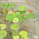 メダカの産卵におすすめ!(ビオトープ/浮草)ヨーロピアン フロッグビット(3株)