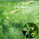 【まとめ割】 ビオトープにもおすすめ!■おまかせ浮き草3種セット + ▼ヒメダカ(6匹)