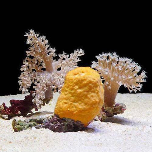 (海水魚 無脊椎)これから飼育を初めたいサンゴ・スポンジ3種セット(1セット)