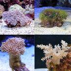 (海水魚 サンゴ)お一人様2点限り おまかせプチサンゴ(ソフトコーラル)(3個) 北海道・九州航空便要保温