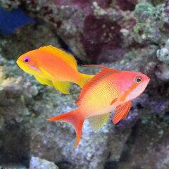 お得なペア販売!(海水魚)東アフリカ産 キンギョハナダイ ペア(1ペア) 北海道航空便要保温