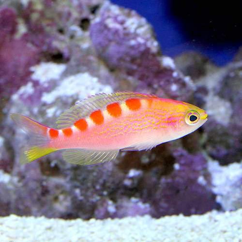 (海水魚)バリ産 アサヒハナゴイ(5匹)