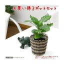 (観葉植物)コーヒーの木 3号(3ポット)