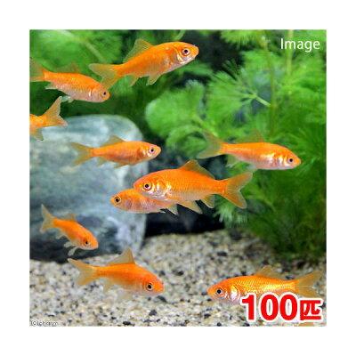 【まとめ割】▼《生餌》小赤 エサ用金魚(100匹)