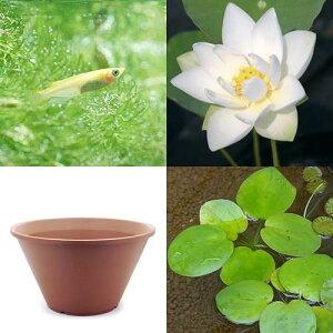 【まとめ割】 蓮は睡蓮と別の魅力!◆はじめてのハス栽培セット(メダカ付) 姫白ハス+陶鉢44...