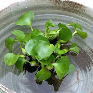 メダカの産卵におすすめ!(水辺植物)ホテイ草(ホテイアオイ)(5株)