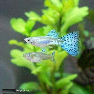 熱帯魚・エビ他>グッピー>系統で選ぶ(熱帯魚)ブルーグラス・グッピー(国産ブリード)(3ペ...