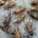 (生餌)フタホシコオロギ ML 20グラム(約40匹) 爬虫類 両生類 大型魚 餌 エサ 沖縄・離島不可 タイム便・航空便不可
