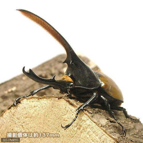 (昆虫)ヘラクレス・オキシデンタリス エクアドル産 幼虫(初~2令)(3匹) ヘラクレスオオカブトムシ