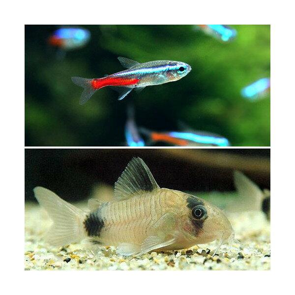 (熱帯魚)30cm水槽用小型魚セット(ネオンテトラ10匹+Co.パンダ3匹) 北海道・九州・沖縄航空便要保温