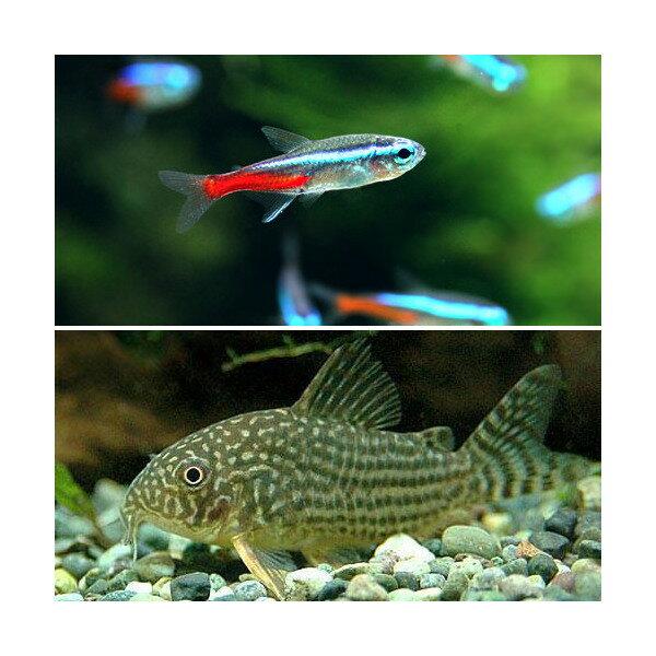 (熱帯魚)30cm水槽用小型魚セット(ネオンテトラ10匹+コリドラス・ステルバイ1匹)北海道・九州航空便要保温