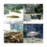 (淡水魚)生餌 エサ用川魚 Sサイズ(30匹)