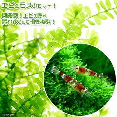 ▼ビーシュリンプ(赤)(5匹)+マナウス産ウィローモスセット