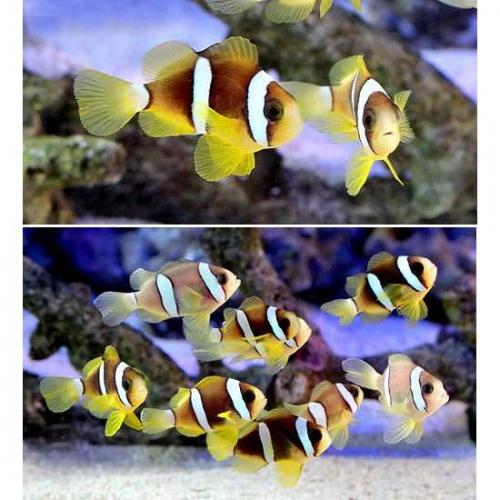 (海水魚)ナミクマノミ(国産ブリード)(5匹) 北海道航空便要保温