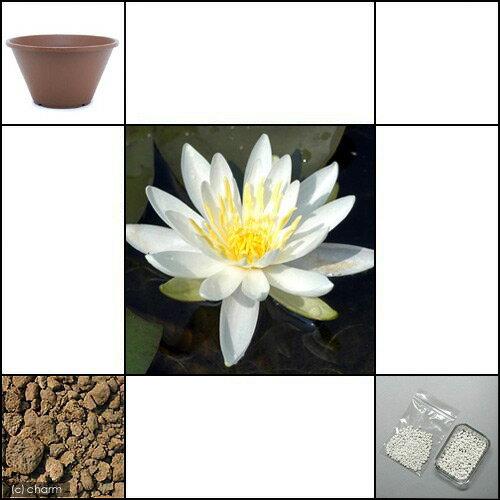 (ビオトープ)睡蓮睡蓮(スイレン)白1株+陶鉢寄型360きん茶+ビオの土3L+固形栄養素説明書付沖縄不可