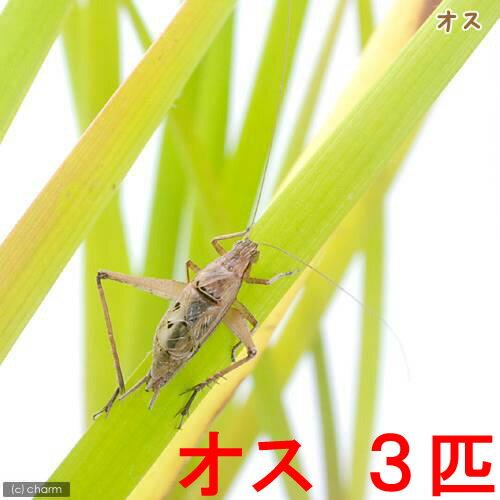 (昆虫)マツムシ オス(3匹)