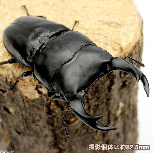 (昆虫)国産オオクワガタ 大阪府能勢町産 成虫 YG血統 オス82.6mm メス53mm(1ペア)