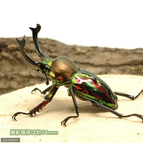 (昆虫)ニジイロクワガタ クィーンズランド産 成虫 63mm(1ペア)