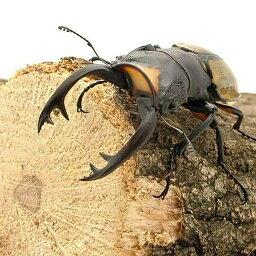 (昆虫)ラコダールツヤクワガタ スマトラ ベンクール産 長歯型 成虫(WD)75〜79mm(1ペア)