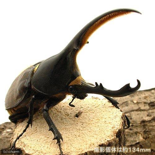 (昆虫)ヘラクレス・リッキー コロンビア産 オス104mm メス60mm(1ペア) ヘラクレスオオカブトムシ